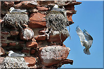 NT6779 : Nesting kittiwakes at Dunbar Harbour by Walter Baxter