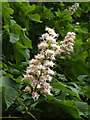 TM3876 : Blossom of a Horse Chestnut Tree at Highfield Residential Home by Geographer