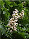 TM3876 : Blossom of a Horse Chestnut Tree at Highfield Residential Home by Adrian Cable