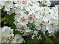 SK9923 : Colours of Hawthorn Blossom 3 by Bob Harvey