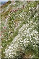 NU1341 : Wildflowers on Holy Island by Philip Halling