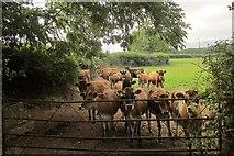 SX8979 : Jersey calves near Waddon by Derek Harper