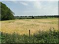 TL7397 : Ripening barley by Adrian S Pye
