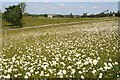 SO8843 : Ox-eye daisies in Croome Park by Philip Halling