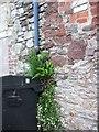 SX9372 : Wall habitat, Teignmouth by Derek Harper