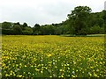 SU7433 : Selborne - The Wakes - Buttercups by Rob Farrow