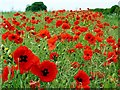 NZ1067 : Poppies line the edge of a rape crop along Hadrian's Wall Trail by Andrew Curtis