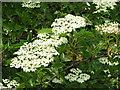 TG3006 : Flowering elderberry tree by Evelyn Simak