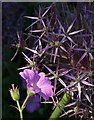 SX9050 : Cranesbill and allium, Coleton Fishacre by Derek Harper