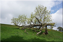 SK2468 : Tree that snapped and is still growing by Bill Boaden
