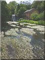 NY6815 : Water crowfoot at Rutter Mill by Karl and Ali
