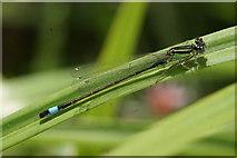 SJ3999 : Male Blue-tailed Damselfly (Ischnura elegans), Melling by Mike Pennington