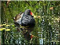 SD7807 : Moorhen (Gallinula chloropus) by David Dixon