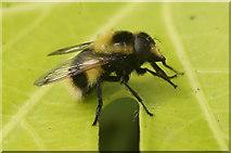 SJ3999 : The hoverfly Volucella bombylans, Melling by Mike Pennington