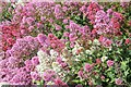 SN5880 : Colourful Valerian blooms by Philip Halling