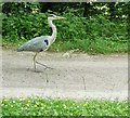 ST7960 : Heron on the towpath by Rob Farrow