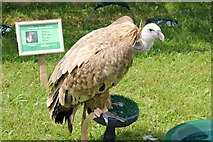 SJ7177 : Hooded Vulture at the Cheshire Show by Jeff Buck