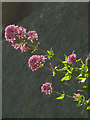 SD4972 : Red Valerian, Warton Crag (3) by Karl and Ali