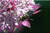 SJ3999 : The hoverfly Ripponensia splendens, Melling by Mike Pennington