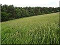 NT7118 : Crop by Hardenhill Plantation near Oxnam, Scottish Borders by ian shiell