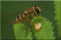 SJ3999 : The hoverfly Syrphus ribesii, Melling by Mike Pennington