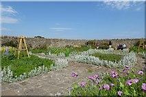 NU1341 : Lindisfarne Castle Gardens by DS Pugh