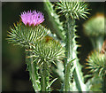 TG2004 : Flowering thistle on Fir Hill by Evelyn Simak