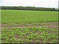 NT6243 : Crop at Huntlywood by M J Richardson