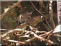 SS9645 : Wood mouse by Roger Cornfoot