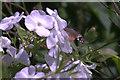 SJ4094 : Hummingbird Hawk-moth  (Macroglossum stellatarum), Croxteth Country Park by Mike Pennington
