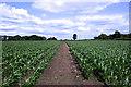SJ6579 : Field of infant maize by Anthony O'Neil
