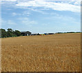 TL9579 : A field of ripening barley beside Norwich Lane by Evelyn Simak