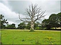SU3012 : Bartley, dead oak tree by Mike Faherty