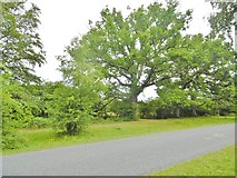 SU3012 : Bartley, oak tree by Mike Faherty