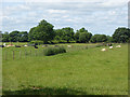 NY6521 : Fields with cattle, near New Bewley by Oliver Dixon