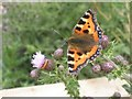ST3227 : Small Tortoiseshell butterfly by Roger Cornfoot