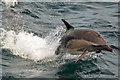 NG1112 : Common dolphin by John Allan