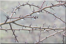 SP9314 : Hawthorn twigs dripping with water in the fog at College Lake by Chris Reynolds