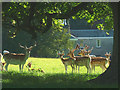SD4980 : Fallow deer in The Park, Dallam Tower by Karl and Ali