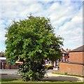 SJ9594 : Rowan Tree by Gerald England