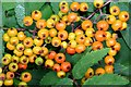 J3675 : Rowan berries, Victoria Park, Belfast (July 2015) by Albert Bridge