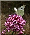 SX9065 : Butterfly on valerian by Derek Harper