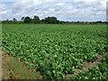 TM1293 : Crop field off Church Lane by JThomas