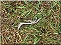 ST5674 : Bird's foot, Durdham Down by Derek Harper