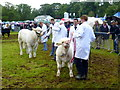 H5654 : Holding bulls, Clogher Valley Agricultural Show by Kenneth  Allen