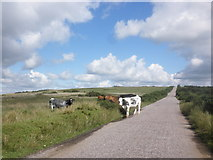 SS8429 : Cattle cross the road, on West Anstey Common by Roger Cornfoot
