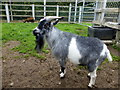 J0458 : Billy goat, Tannaghmore Gardens by Kenneth  Allen