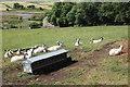 SE0399 : Sheep taking it easy by Bill Harrison