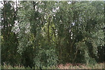 TL4279 : Willows between  Bedingham's Drove and the River Delph by Chris