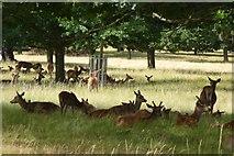 TQ2173 : Deer in Richmond Park by DS Pugh
